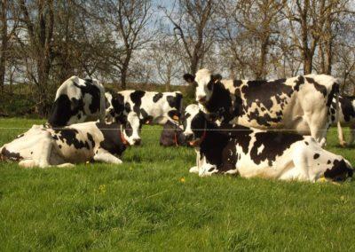 Vaches fermières à Vergezac