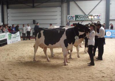 Vache laitière à Jalavoux